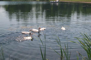 Ducks in fishing pond